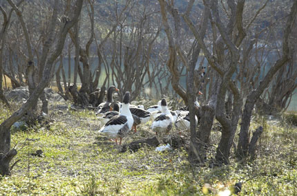 Ducks in Agia Lake