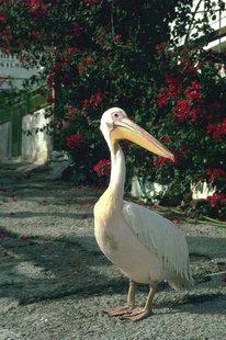 Ein Pelikan im Dorf Sougia