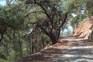 The pine forest in Pano Simi