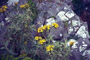 La sauge de Jérusalem (Phlomis fructicosa)