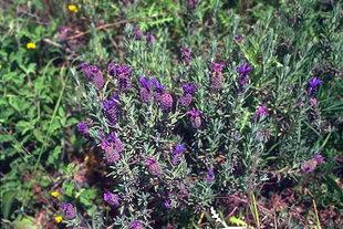 French lavender (Lavandula stoechas), Agia Lake