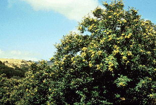 Lush chestnut (kastanies) trees in Kydonia