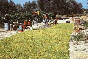 Συγκομιδή σταφυλιών για σταφίδες, Ηράκλειο