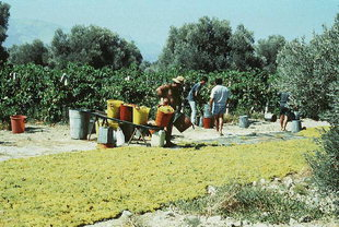 Die Traubenlese für Weinbeeren, Iraklion