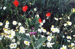 Frühlingsblumen in Kalamafka