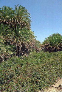 The palm grove in Vai