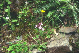 Οικογένεια Ορχιδέας (Orchis quadripunctata)