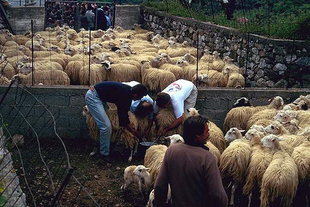 Milking sheep for the Panigiri of Agios Georgios in Asigonia