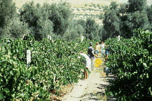 Harvesting grapes for raisins, Iraklion