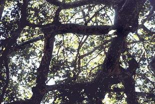 Ramifications insolites des grands arbres du Monastère de Kaloidena