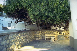 The famous myrtle tree in the Palianis Monastery