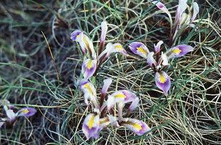 Iris cretica a Kalamafka